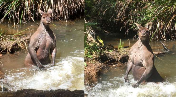 Man stumbles upon gigantic muscular kangaroo bathing in Aus creek